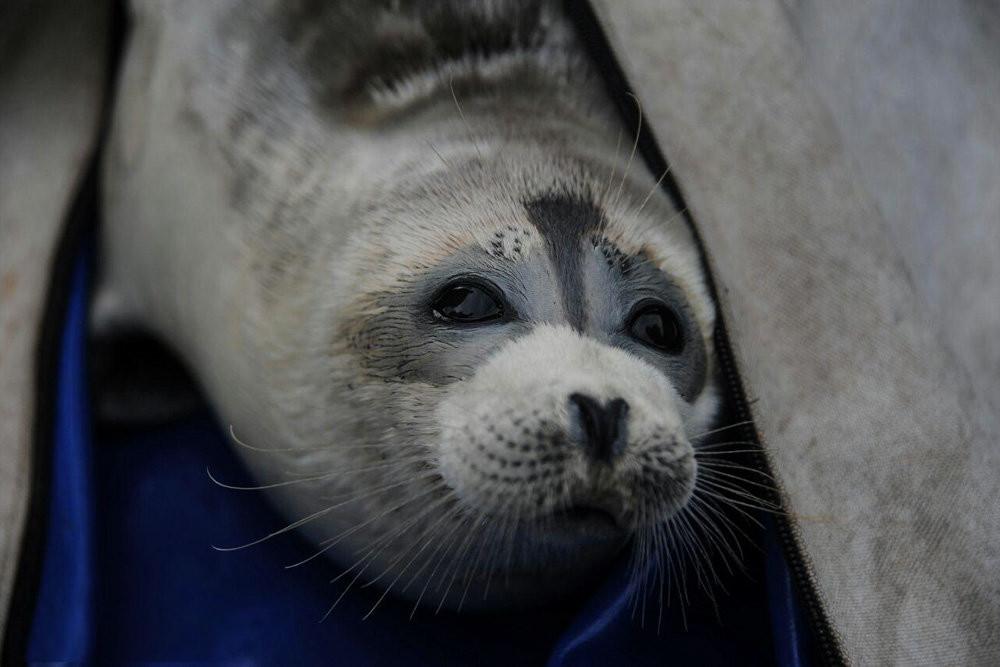 Caspian seal population is in danger: Aselle Tasmagambetova and Mirgaliy Baymukanov
